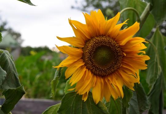 Sonnenblume-Image-Katharina-Franziska-Kremkau-Silke-Gebel,MdA-CC-BY-4.0